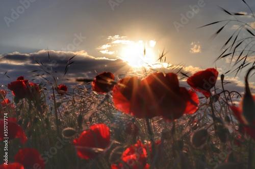 Fototapeta poppies in the sunset obraz na płótnie