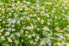 Cheerful Green Meadow With Whi...