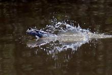 Close-up Of Mudskipper In Lake