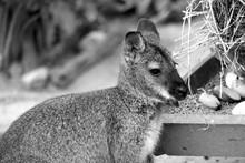 Kangaroo Looking Away