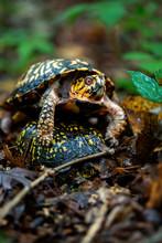 Eastern Box Turtle Mating