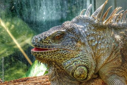 Canvastavla Close Up Of Lizard Looking At Camera