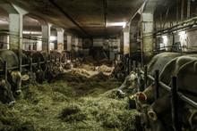 Cows Feeding Hays In Shed