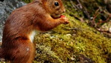 Squirrel Eating Strawberry In Forest