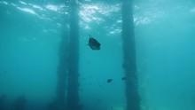 A Puffer Fish Swimming Underwa...