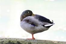 Side View Of Male Mallard Duck Sleeping On One Leg