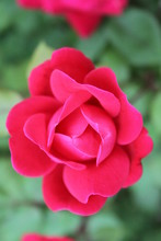 Red Roses In Bloom 2020 10c