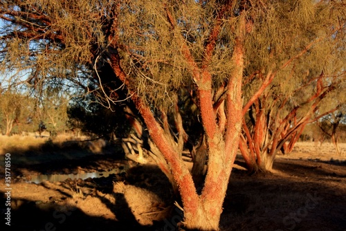 Fototapeta Red Mulga Trees in the Simpson Desert