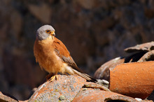 The Lesser Kestrel (Falco Naumanni) Sitting An Old Village Roof. Kestrel In A Typical Position In The Village.Small City Falcon On Burnt Tiles Roof.