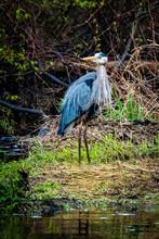 Great Blue Heron In Swamp Alone In Spring