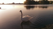 Swan On River