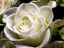 Macro Shot Of Yellow Rose