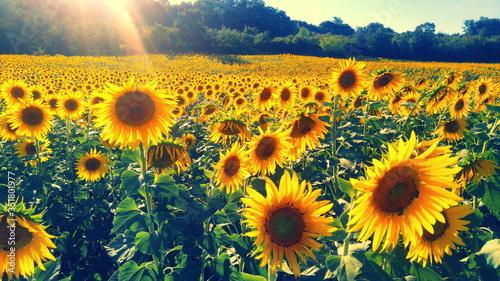 Fotografie, Obraz Close-up Of Sunflower Field