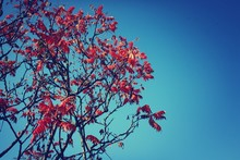Low Angle View Of Tree With Red Leaves Against Clear Blue Sky