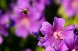 canvas print picture - Close-up Of Bee Flying On Purple Flower