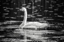 Swan In River During Rainy Season