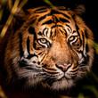 closeup portrait of a tiger
