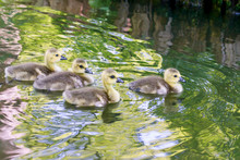 Four Baby Geese In The Water