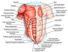 Pectoralis Major Muscle, Muscl...