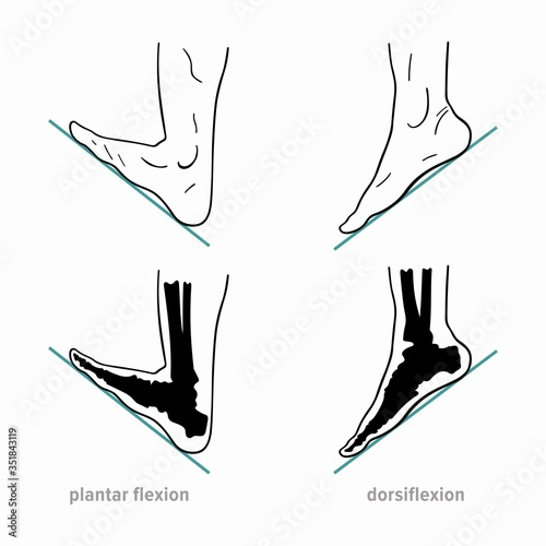 Foto Plantar flexion, dorsiflexion, anatomical terms of foot joint motions