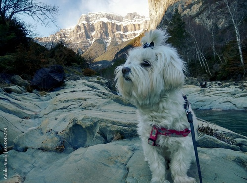 Bichon Maltese Standing On Rock Formation Against Tree Canvas Print