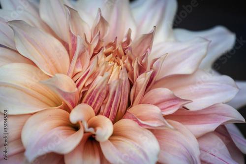 Fototapeta Close-up Of Pink Dahlia obraz na płótnie