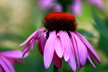 Close-up Of Pink Coneflower Bl...