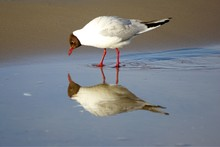 Side View Of Black-headed Gull On Shore