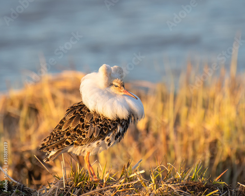 Cuadros en Lienzo Male ruff showing its feather collar in mating season