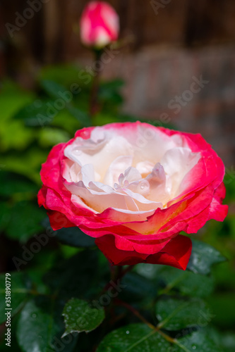 Fotografie, Obraz Blossom of white red Hybrid tea nostalgie or double delight florist garden rose