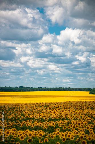 Fototapety, obrazy: sunflower field on a sunny day