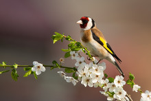 Colorful Male Of European Goldfinch, Carduelis Carduelis, Sitting On Twig Of Tree With Blossoming Flowers In Springtime. Bird With Red Stripe Over Eye And Yellow Plumage On Wings.