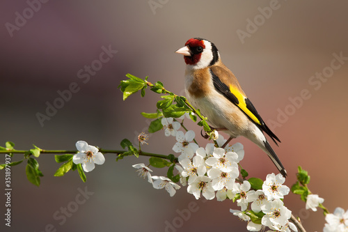 Fotografia Colorful male of european goldfinch, carduelis carduelis, sitting on twig of tree with blossoming flowers in springtime
