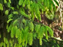 Evergreen Spruce Fir Tree Young New Branch Fresh Pine