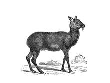 Illustration Of A Musk Deer In Popular Encyclopedia From 1890