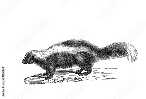 Illustration of a Skunk in popular encyclopedia from 1890 Canvas Print