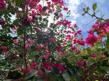 Pink Bougainvillea Flowers Against Blue Sky With Clouds - Florida
