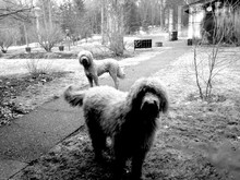 Goldendoodles Standing On Field