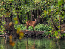 Deer Standing By Lake In Forest