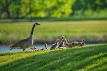 A Budding Family Of Cananda Ge...