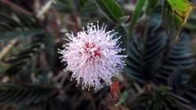 Close-up Of Buttonbush Flower