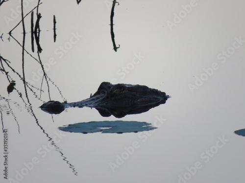 Photo Alligator head peaking above water line in lake