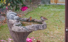 Robin (Erithacus Rubecula) Taking A Bath In A Stone Bird Bath In An English Country Garden Whilst A Male Sparrow (Passer Domesticus) Looks On, Captured From Behind The Glass Of A Greenhouse