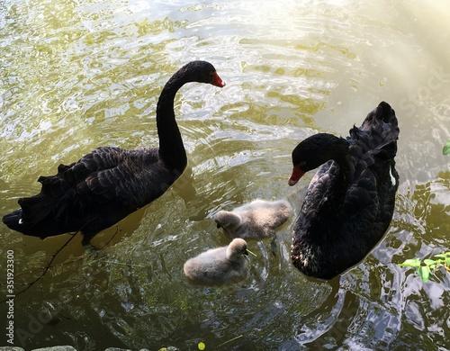 Fotografía High Angle View Of Black Swans And Cygnets Swimming At Lake