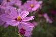 Leinwanddruck Bild - Close-up Of Purple Cosmos Blooming Outdoors