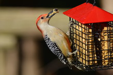 Male Red Bellied Woodpecker On Suet Cage