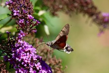 Close-up Of Moth Flying By Purple Flowers
