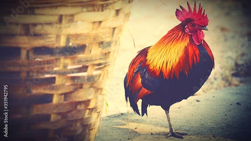 Photo Close-up Of Rooster