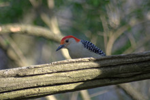Red-bellied Woodpecker (Melane...