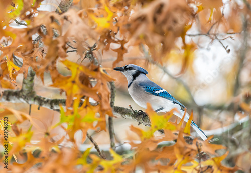Cuadros en Lienzo One colorful beautiful blue jay Cyanocitta cristata bird closeup perched on tree